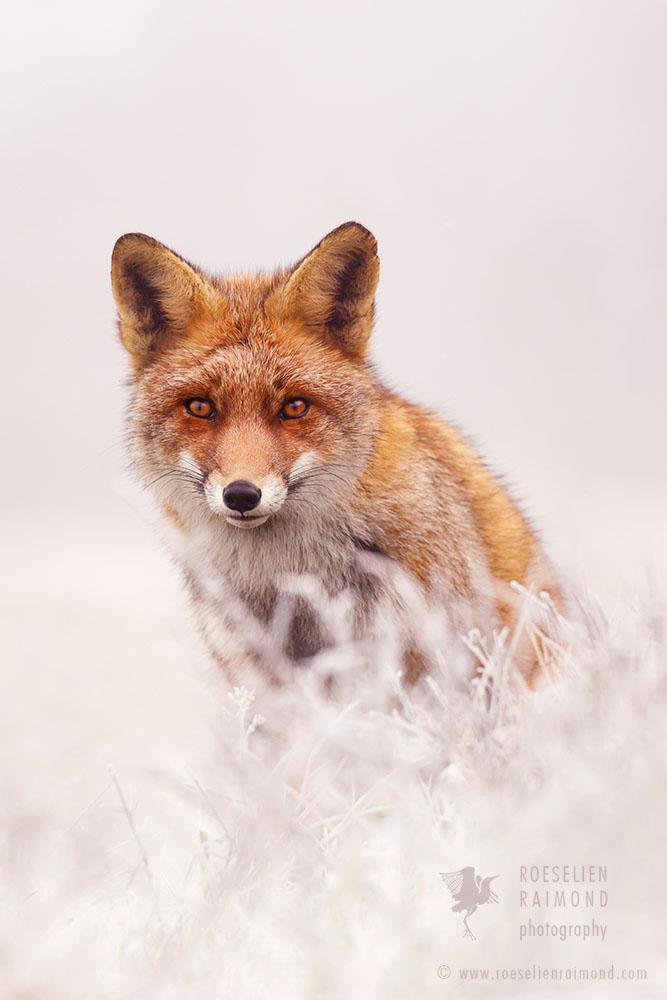 Fox & Hoar Frost