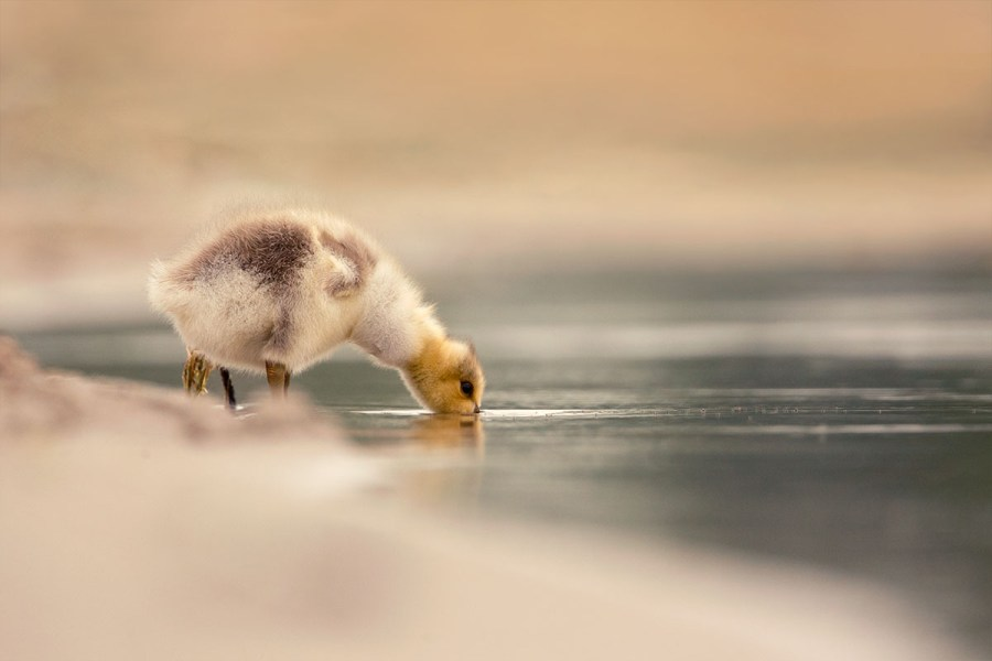 Drinking gosling