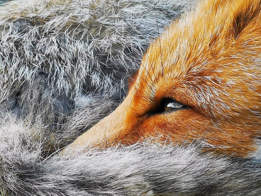 Winning fox photo Huawei