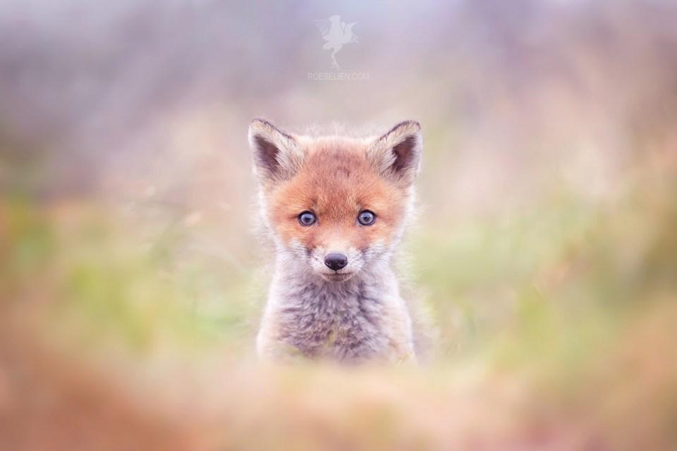 Cute fox cub.