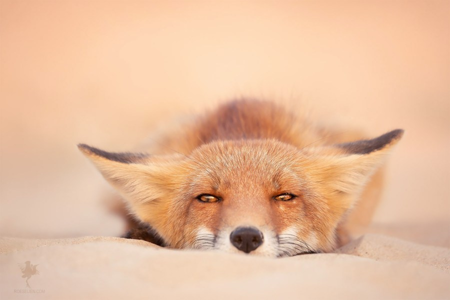 Chill Like a Fox