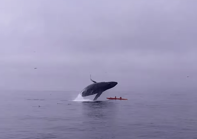 Breaching Humpback Whale Nearly Crushes Kayakers