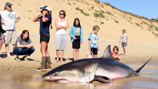 Shark Expert Investigates Stranding Of Great White On Cape Cod Beach