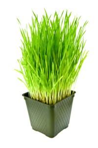 Frisches Weizengras