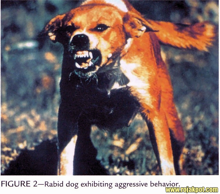 Turning Rabid Over Rabies - The Rojak Pot