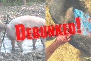 12 Scientific Reasons For Declaring Pigs Haram Debunked!