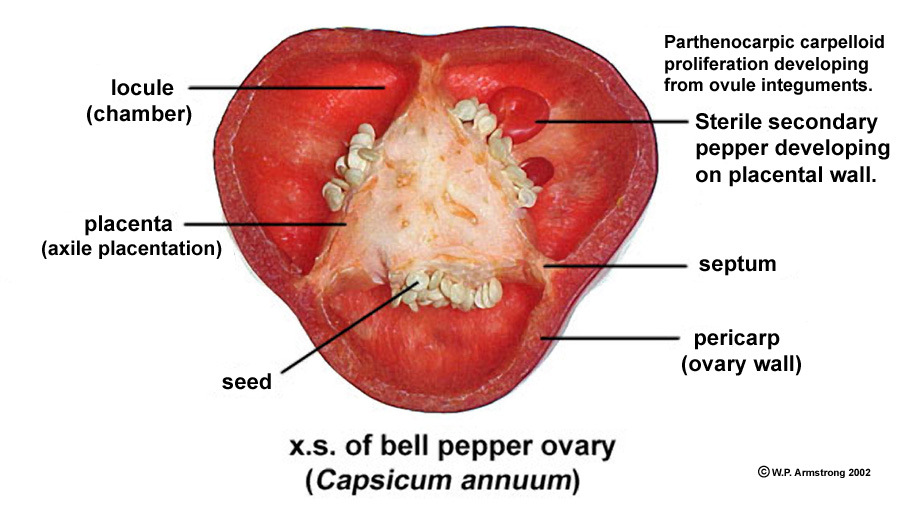 The cut section of a bell pepper / capsicum