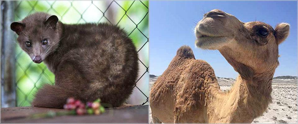 Civet cat and camels