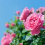 rosebluesky