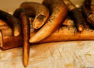 Major ivory trafficker jailed Republic of Congo