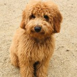 Goldendoodle Puppies Goldendoole Pictures
