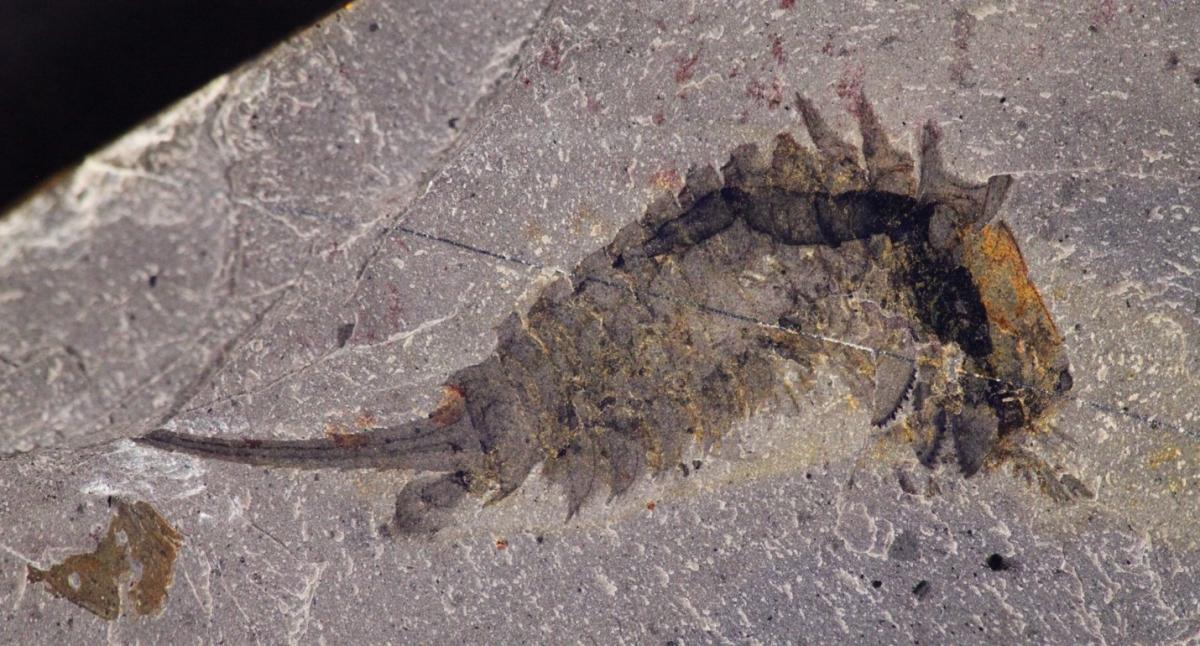 fossil-habelia-optata.jpg