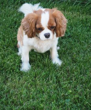 Harry cavalier king charles
