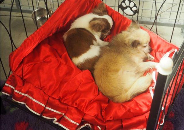 Beaux rêves les Chihuahua...