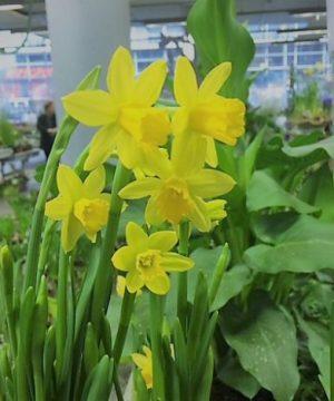 Jonquilles fleurs
