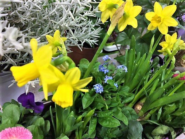 Jonquilles fleurs printemps