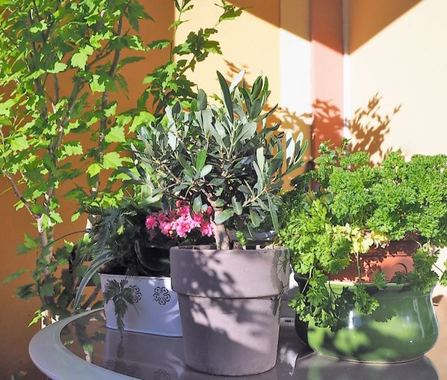 Olivier arbre pour balcon terasse