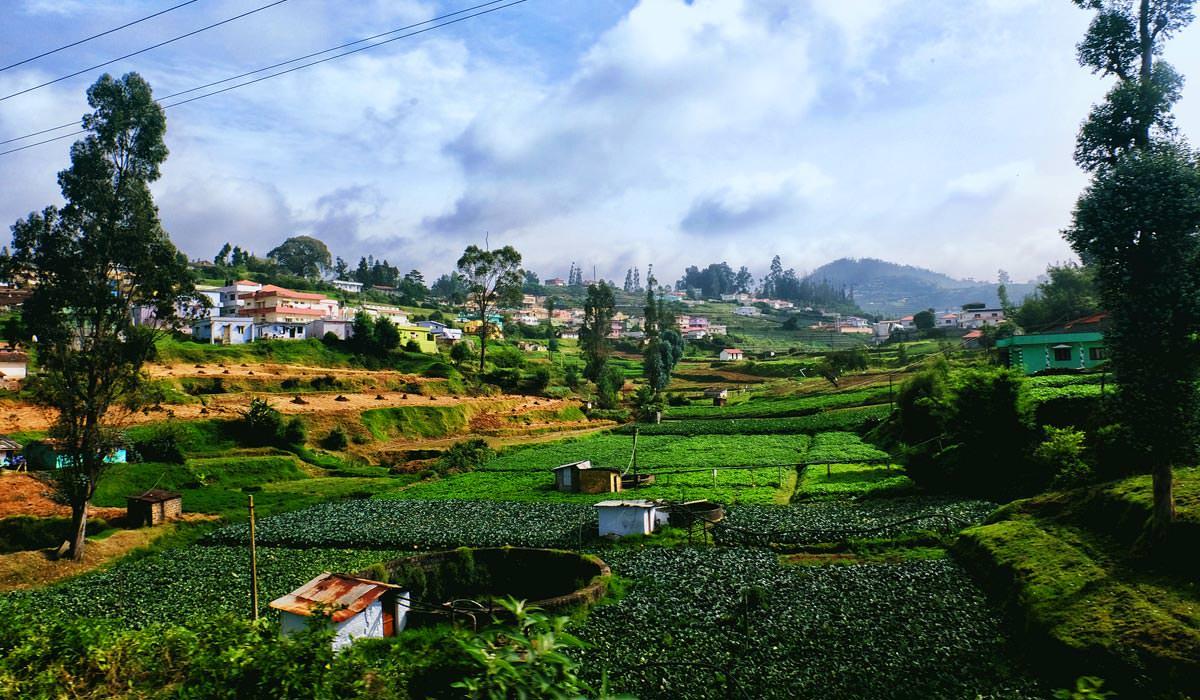 Ooty Tea Fields
