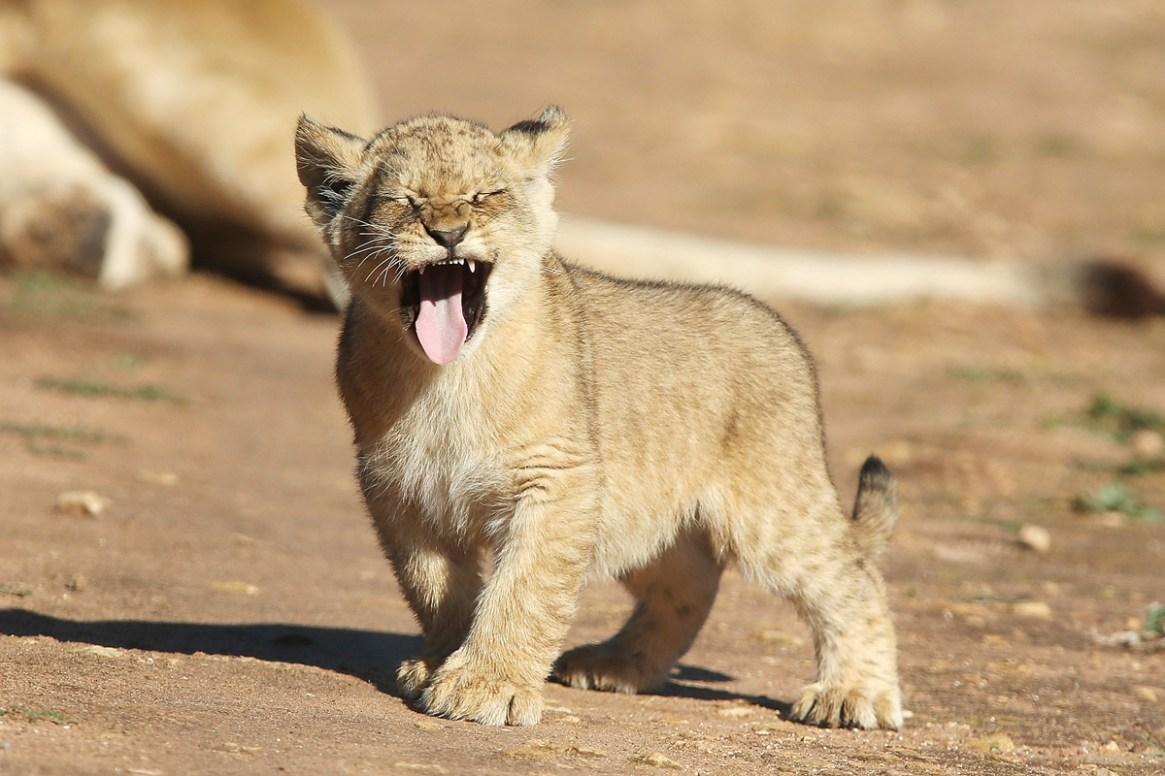 Lion Cubs Debut At Monarto Zoo