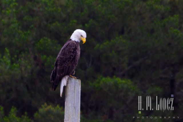 bald eagle memorial day h.m. lopez photograph
