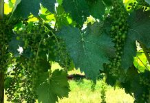 honah lee vineyard gordonsville orange