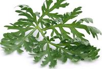 Photo of Artemisia annua/édesüröm/, a rákos sejtek ellen