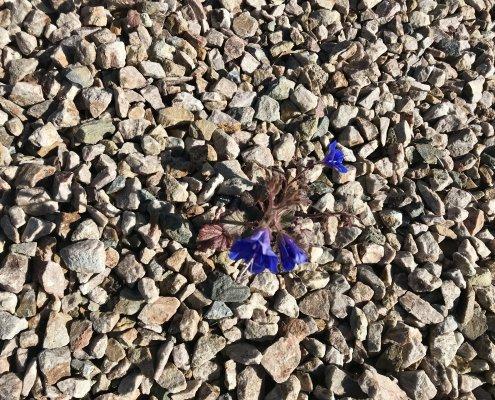 A single wildflower in a sea of rocks