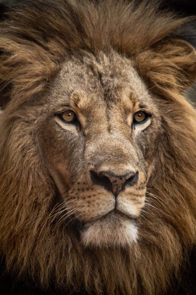 Our Prince of Peace is Regal as a Lion