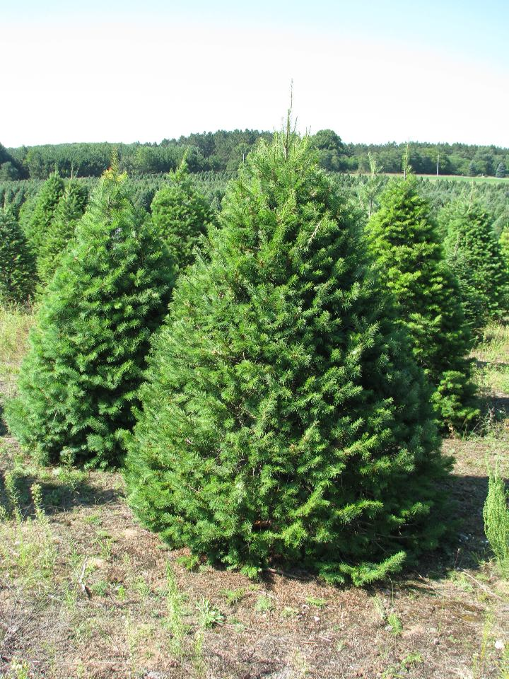 Image result for douglas fir