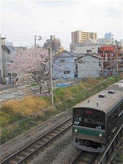 こんなところにも一本だけ桜の木が…