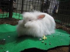 毛玉のようなウサギ
