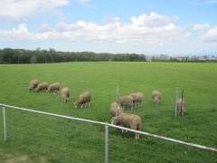 羊たちはのんびり