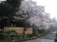 入口には高遠から持ってきた桜