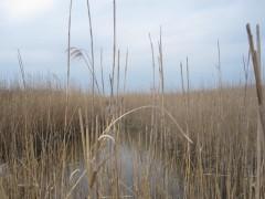 アシの隙間から見える池