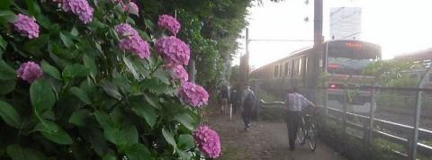 紫陽花と湘南新宿ライン