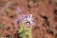 Blume auf Sardinien
