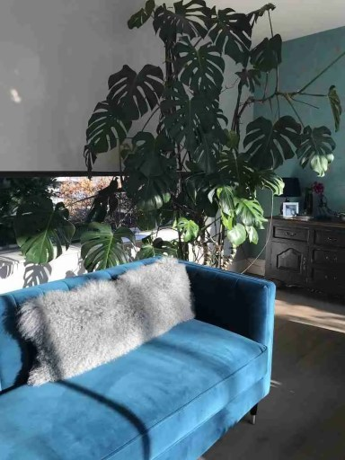 air purifying plants monstera swiss cheese plant