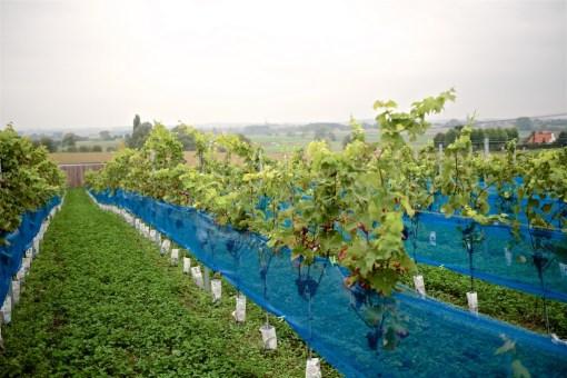 Wijngaard tuin – Tiegem