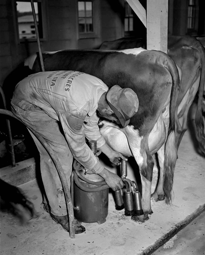 Cows are milked by electricity on the BroadacreDairy Farm. Knox County, Tennessee. 1942.