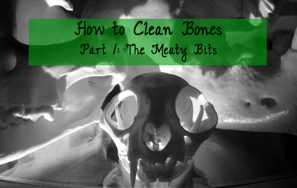 how to clean bones tutorial step 1