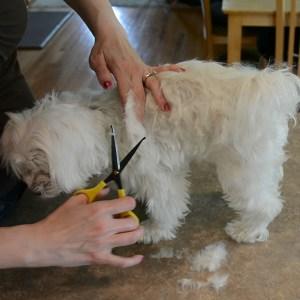 DIY Maltese Puppy Cut