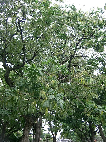 Growing Your Own Soapnut Tree Root Simple