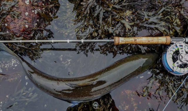 Denne sjøørreten hatt jeg fisket med flue, sted Hvaler.