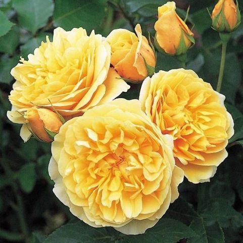 graham thomas, las 10 rosas más bonitas del mundo