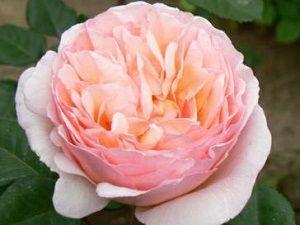 rosa princesa charlene de monaco ficha