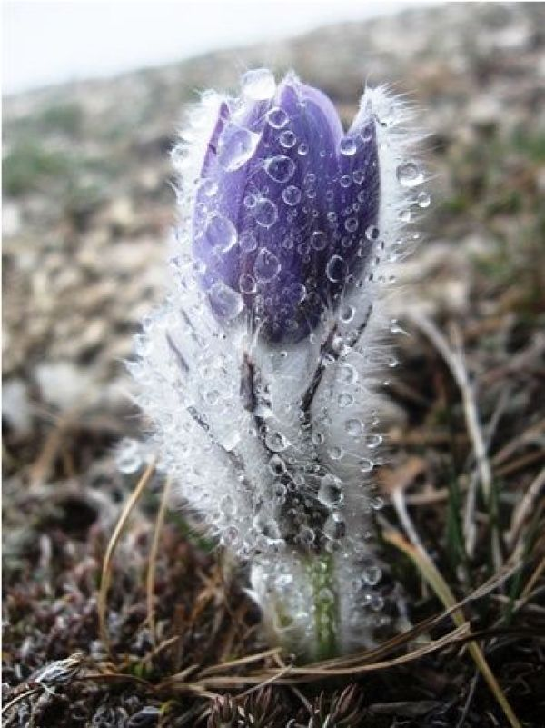 Early Spring Inspiration - Early spring flower covered with ice by Stanislav Kotik. | http://www.roseclearfield.com