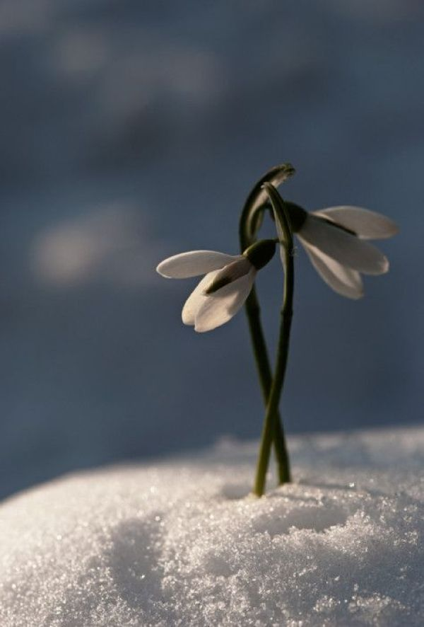 Early Spring Inspiration - White flower in the snow. | http://www.roseclearfield.com