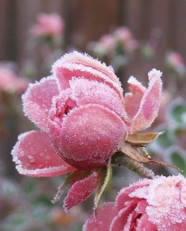 Early Spring Inspiration - Frosted rose. | http://www.roseclearfield.com
