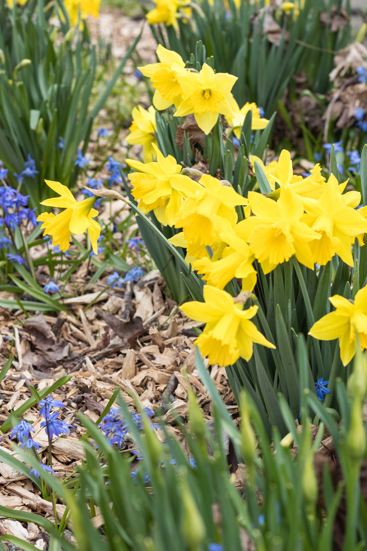 Daffodils | https://www.roseclearfield.com
