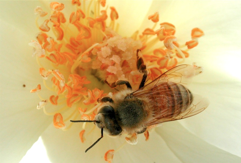 Teaching closeup photo of bee gathering pollen from a white rose